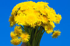 Dandelions II. A bouquet of dandelions, isolated on blue Stock Images