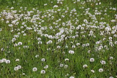 dandelions ilustraci krajobrazu wiosna wektor Obraz Stock