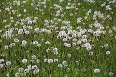 dandelions ilustraci krajobrazu wiosna wektor Zdjęcia Royalty Free