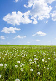 Dandelions In Field Royalty Free Stock Photo