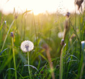Dandelions In Meadow At Sunset. Royalty Free Stock Images