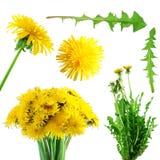 dandelions inkasowy kolor żółty Obrazy Royalty Free