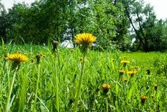 dandelions kolor żółty Fotografia Stock