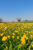 Dandelions in landscape Royalty Free Stock Photography
