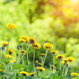 Dandelions lawn Stock Photography