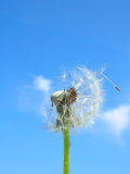 Dandelions leaving Home #1. A Dandelion seed holding on to home Royalty Free Stock Photo