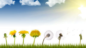 Dandelions life under sun Royalty Free Stock Images