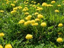 Dandelions 2 Stock Image