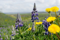 Dandelions and lupines, Iceland stock photography