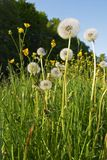 Dandelions in a meadow Stock Images