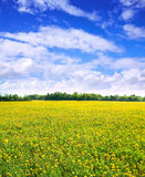 Dandelions meadow Stock Images