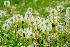 Dandelions in the meadow. Dandelions in a meadow during the spring season Royalty Free Stock Photography