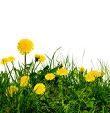Dandelions in the meadow Royalty Free Stock Image