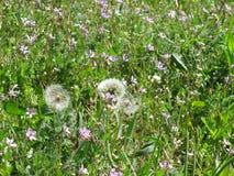 Dandelions_meadow Royaltyfri Bild