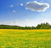 Dandelions in the meadow. With blue sky Stock Photo