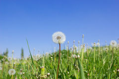 Dandelions meadow. On blue sky background Royalty Free Stock Image