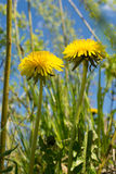 Dandelions in the meadow. Bright flowers dandelions on background of blue sky royalty free stock photo
