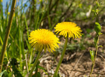Dandelions in the meadow. Bright flowers dandelions on background of blue sky royalty free stock image
