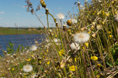 Dandelions in the meadow. Bright flowers dandelions on background of blue sky and river stock images