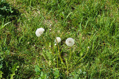 Dandelions in the meadow. Bright flowers dandelions on background of green meadows Stock Image