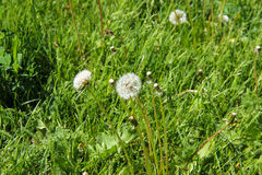 Dandelions in the meadow. Bright flowers dandelions on background of green meadows Royalty Free Stock Photo