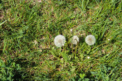 Dandelions in the meadow. Bright flowers dandelions on background of green meadows Stock Photos