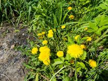 Dandelions in the meadow. Bright flowers dandelions on background of green meadows Stock Photography