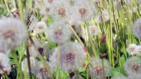 Dandelions in the meadow Royalty Free Stock Photography