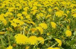 Dandelions meadow Stock Image