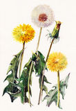 Dandelions , meadow flowers, watercolor, pattern Royalty Free Stock Photo
