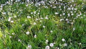 Dandelions on meadow. A grassy meadow with ripe dandelions Royalty Free Stock Photos