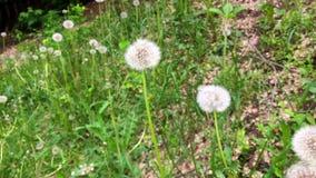 Dandelions meadow green grass background. View of dandelion in cinematography style. Dandelions meadow green grass background. View of dandelion in stock video