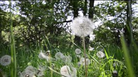 Dandelions in the meadow stock footage