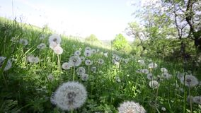 Dandelions in the meadow stock video footage