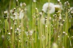 Dandelions in a meadow stock photo