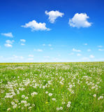 Dandelions on the meadow Stock Photography
