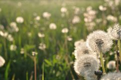 Dandelions in the meadow in spring. Space on left side Stock Photo