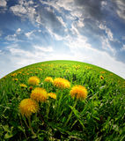 Dandelions. On  meadow in the sunset Royalty Free Stock Photo