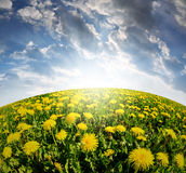 Dandelions on meadow. In the sunset Royalty Free Stock Images