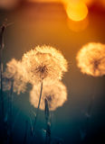 Dandelions on the meadow Royalty Free Stock Images