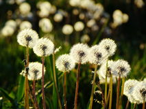 Dandelions in the Meadow. White fluffy dandelions on a meadow ripened for flight Stock Image