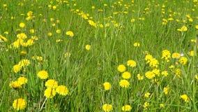 Dandelions meadow in windy day stock video footage