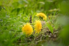 Dandelions in the middle of the garden royalty free stock photo