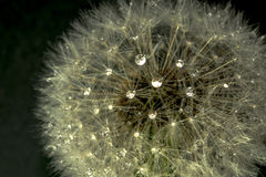 Dandelions. An dandelions in the morning dew Royalty Free Stock Image
