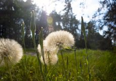 Dandelions in the morning sun among the lush grass in the forest. Medicinal plants. The rays make their way through the trees. stock photos