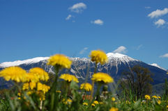 Dandelions and the Mountains. A view from below over the meadows full of dandelions with snow capped mountains and blue sky in the background. Focus is on the Royalty Free Stock Photography