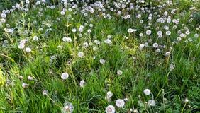 Dandelions na łące Zdjęcia Royalty Free