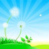Dandelions na lato łące Obrazy Stock