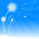 Dandelions na lato łące. Obraz Royalty Free