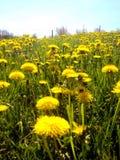 Dandelions na słonecznym dniu Zdjęcie Royalty Free